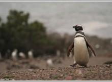 Punta Tombo o cómo ver un millón de pingüinos en Argentina
