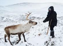 Cómo ver decenas de renos en libertad en Escocia… y darles de comer de la mano