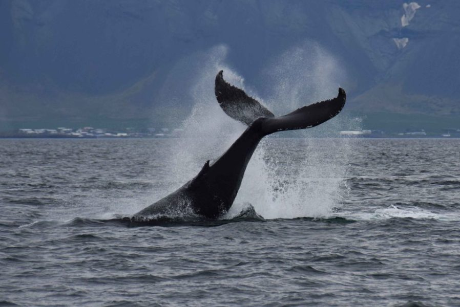 Ver ballenas en Islandia