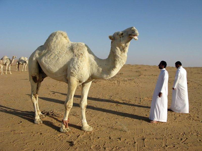 Camello y su dueño en un desierto de Arabia Saudita.