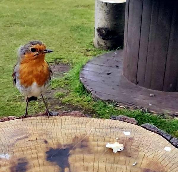 Pájaro Petirrojo esperando que le dé un trozo de pan.