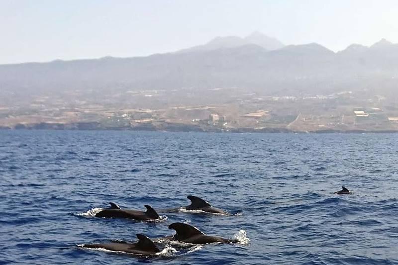 Ballenas piloto, una actividad eco que hacer en Tenerife