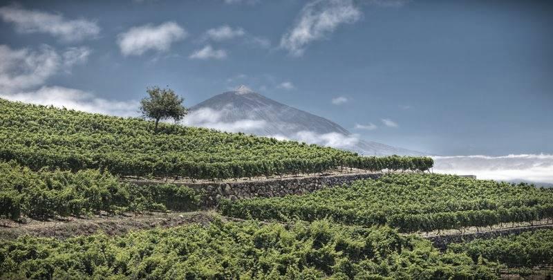 Viñedos que se pueden visitar e Tenerife